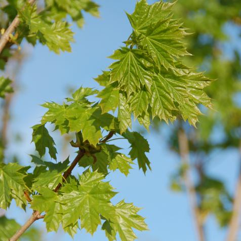 Acer Platanoides Columnare Products Offered By Winkelmolen