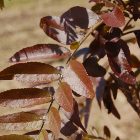 GLEDITSIA TRI. VAR. IN. 'RUBY LACE'