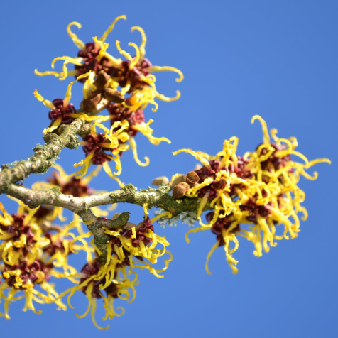 HAMAMELIS VIRGINIANA SHRUB
