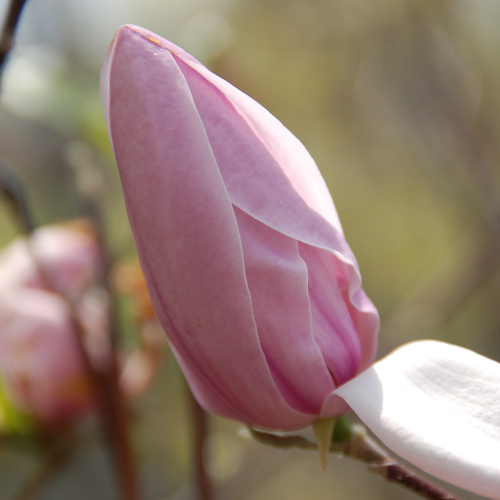 Magnolia-Betty-2