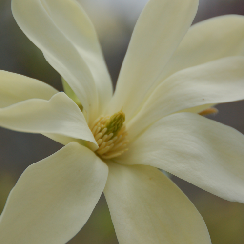 Magnolia-Gold-Star-4