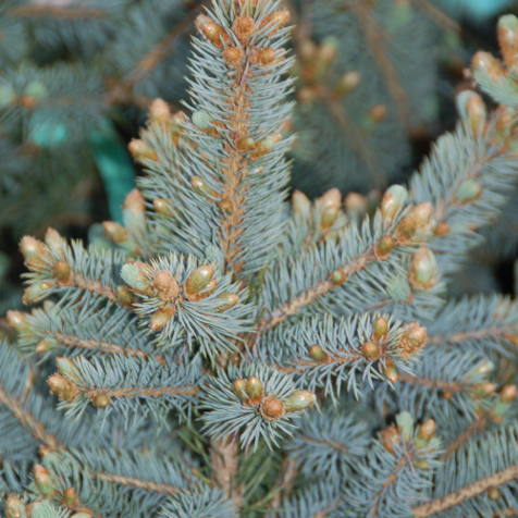 PICEA PUNGENS 'BABY BLUE'