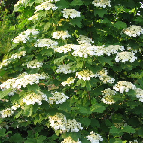 VIBURNUM TRILOBUM SHRUB